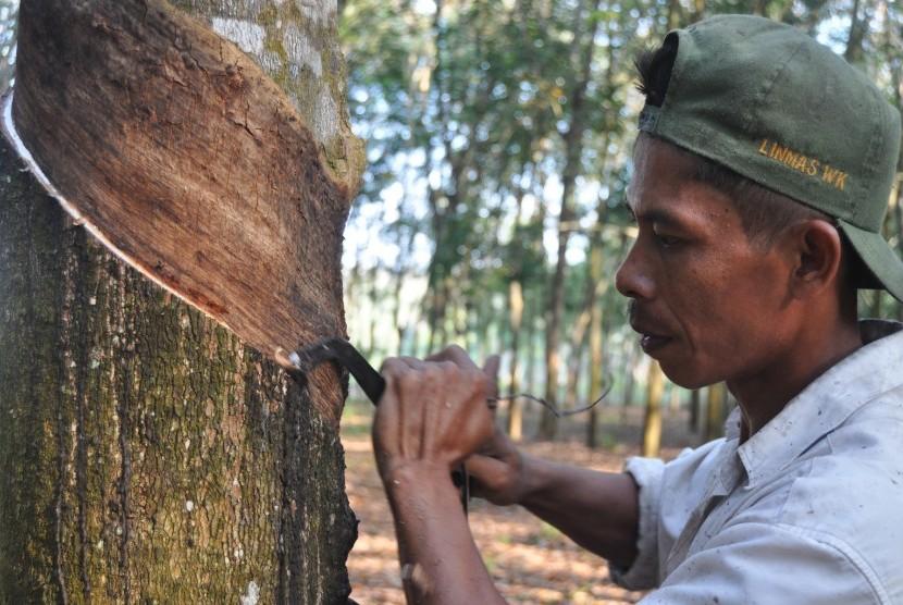 Petani menyadap pohon karet di kebunnya yang berada di Blambangan Umpu, Waykanan, Lampung, Sabtu (21/7). Dipicu penurunan produksi akibat kemarau harga karet beranjak naik, kering 2 minggu dari Rp10 ribu/kg menjadi Rp11 ribu/kg dan kering satu bulan dari R