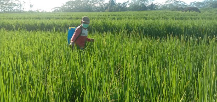 Petani menyemprot hama wereng (ilustrasi). Badan Pusat Statistik Provinsi Kepulauan Bangka Belitung mencatat nilai tukar petani (NTP) pada Juli 2021 sebesar 123,67 atau naik 2,00 persen dibandingkan bulan sebelumnya 121,25, sehingga dapat mendorong pertumbuhan ekonomi masyarakat desa.