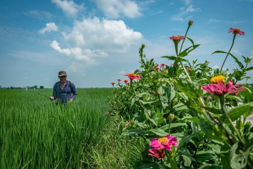 Petani menyemprot padi menggunakan pupuk cair organik. (Ilustrasi)