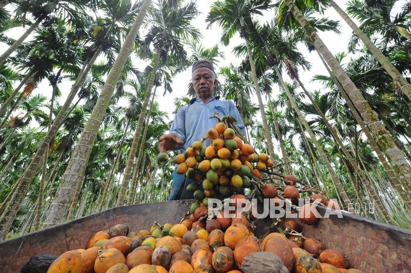 Petani menyortir buah pinang hasil panen (ilustrasi).