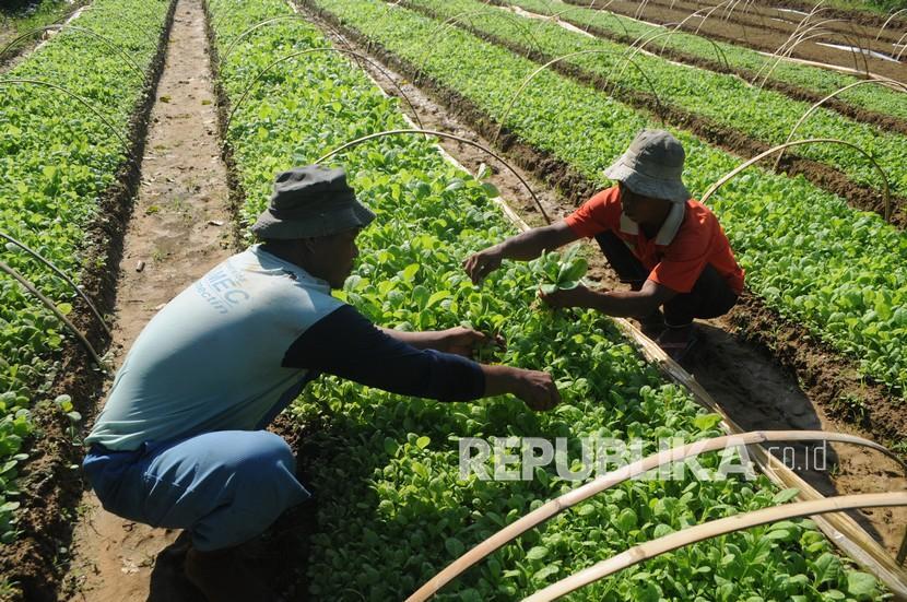 Petani merawat bibit tembakau (ilustrasi).  Hasil kajian Muhammadiyah Tobacco Control Center (MTCC) Universitas Muhammadiyah Magelang (UNIMMA) saat ini petani penghasil tembakau di Indonesia saat ini sejumlah 526.389 keluarga atau setara 2,6 juta orang.