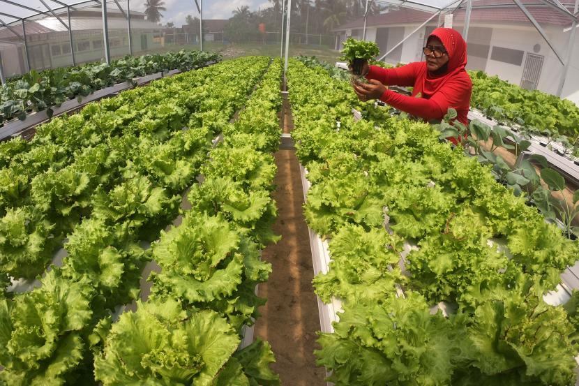 Petani merawat sayur yang ditanam di tempat usaha pertanian hidroponik.