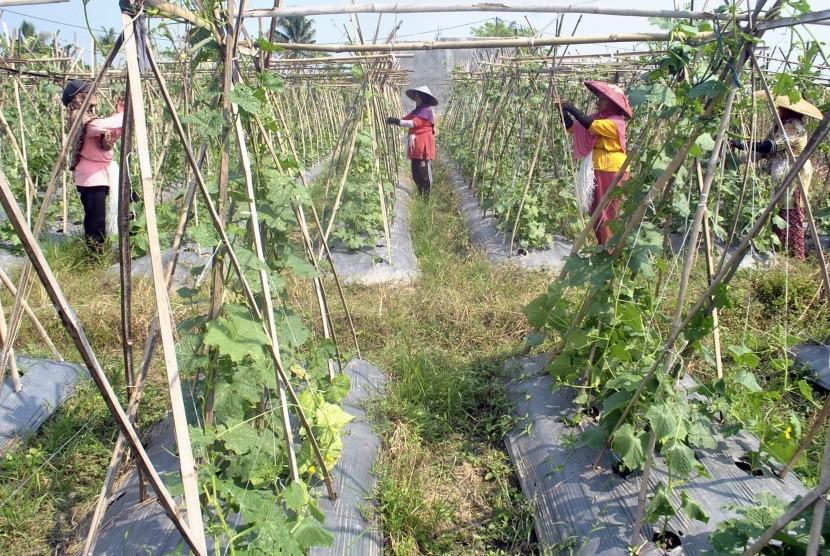 Petani merawat tanaman palawija jenis Oyong dan Timun di Desa Laladon, Ciomas, Kabupaten Bogor, Jawa Barat, Senin (9/7).