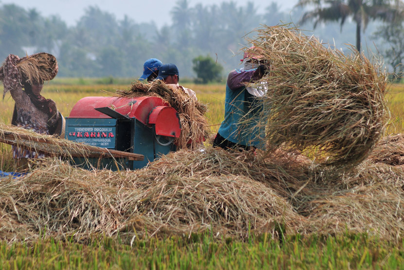 Petani merontokkan bulir padi saat panen.