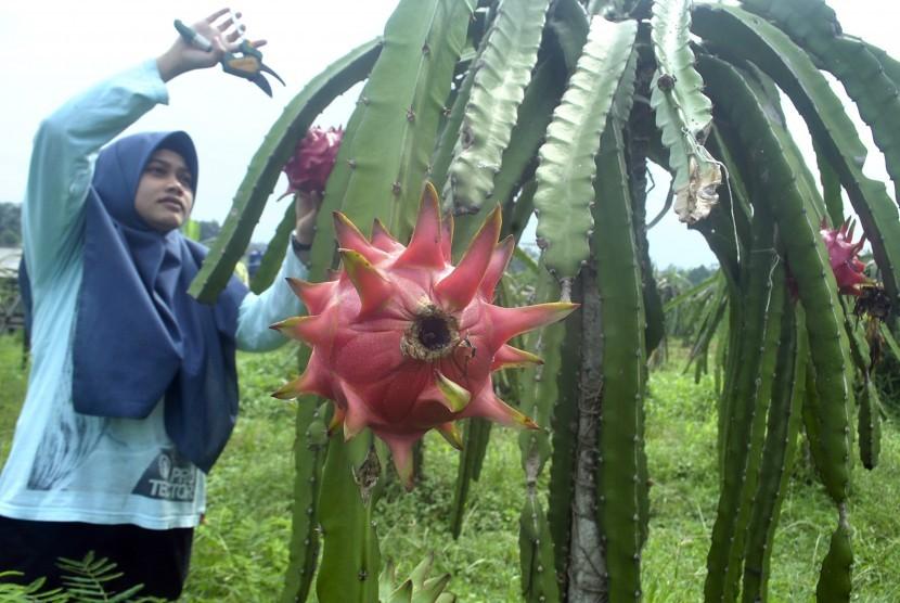 Petani muda IPB memanen buah naga di Sabisa Farm, Gedong Seng, Kelurahan Loji, Kota Bogor, Jawa Barat, Senin (21/1/2019).antara