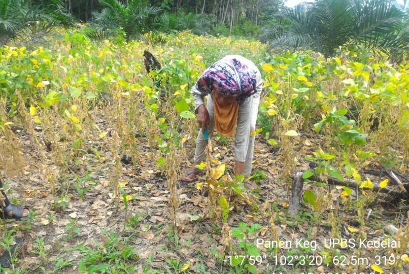 Petani sedang memanen benih kedelai.