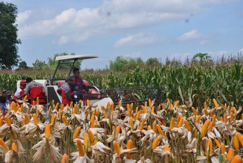 Petani sedang memanen jagung.