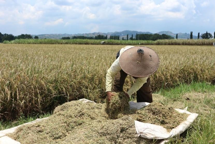 Petani sedang memilah-milah gabah.