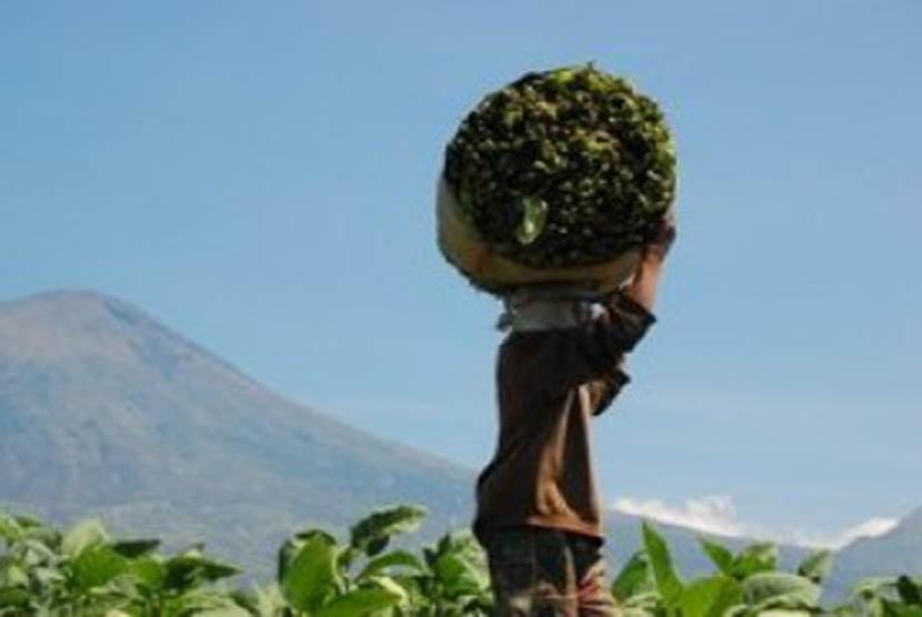 Petani tembakau sedang membawa hasil panen tembakaunya.