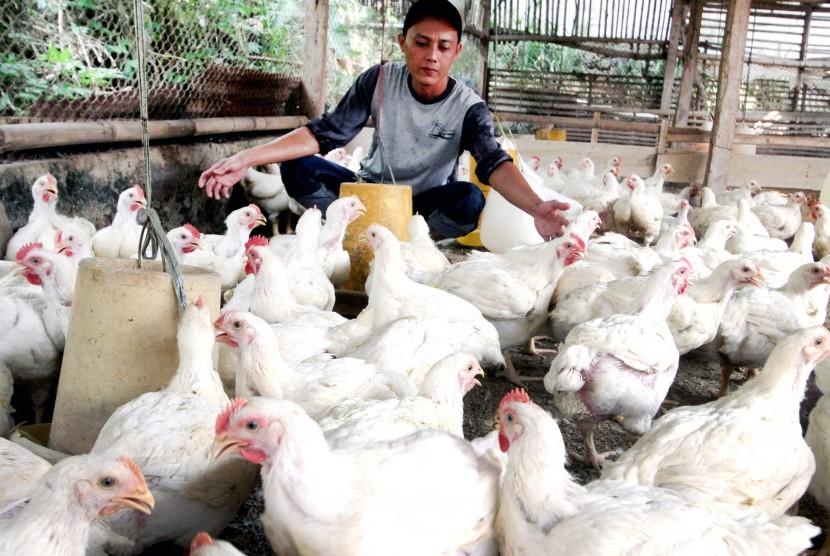 Peternak memberi makan ayam di peternakan ayam di Bogor, Jawa Barat, Selasa (17/7).