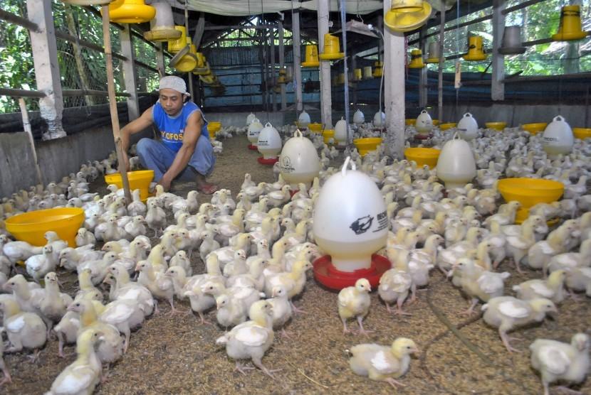 Peternak ayam merugi menyusul anjloknya harga ayam akibat kelebihan pasokan. (Ilustrasi)