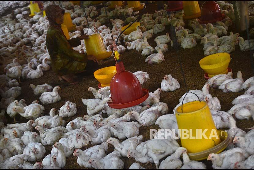 Peternak memberi pakan ayam potong berusia 28 hari, di Kampung Cisaga, Kabupaten Ciamis, Jawa Barat, Kamis (18/1). Harga ayam potong di tingkat peternak naik dari Rp17.000 menjadi Rp20.000 per kilogram, sedangkan harga jual di pasar tradisional mencapai Rp39.000 per kilogram. Kenaikan tersebut disebabkan harga Day old chicken (DOC) saat ini mencapai Rp5.700 per ekor, ditambah harga pakan menjadi Rp7.625 per kilogram.