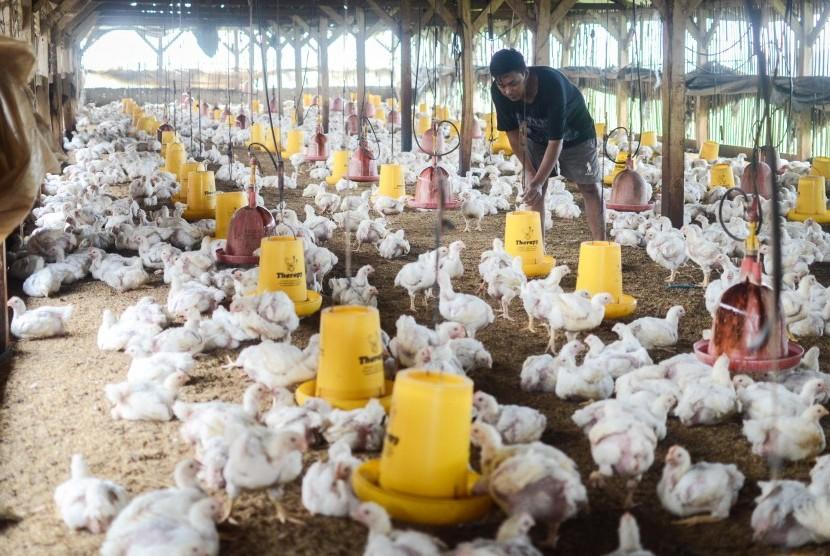 Peternak memberikan pakan ayam broiler di kandang miliknya di Cimincrang, Bandung, Jawa Barat, Kamis (7/2/2019).
