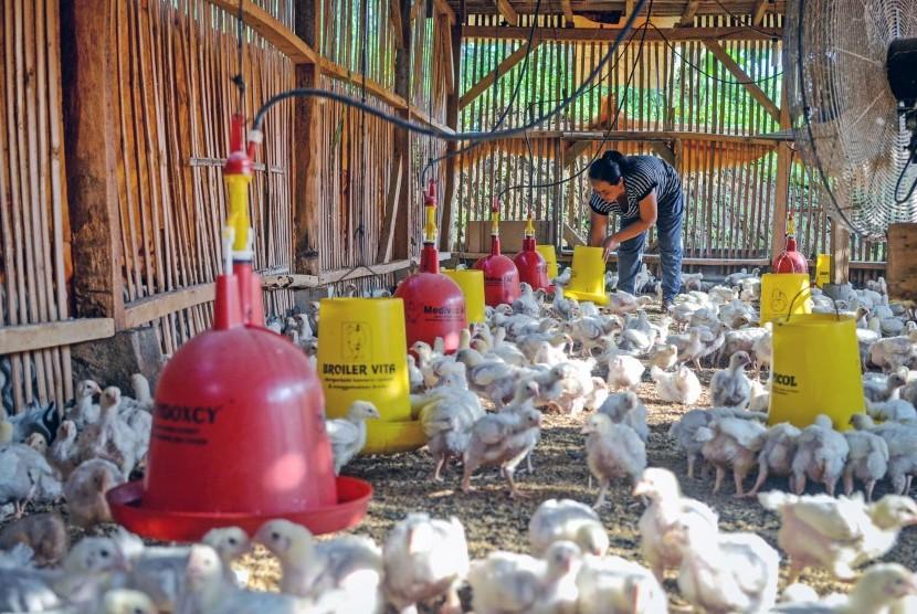 Peternak memberikan pakan pada ayam boiler di Kampung Cipedes, Desa Cipanjalu, Kabupaten Bandung, Jawa Barat, Senin (27/5/2019).