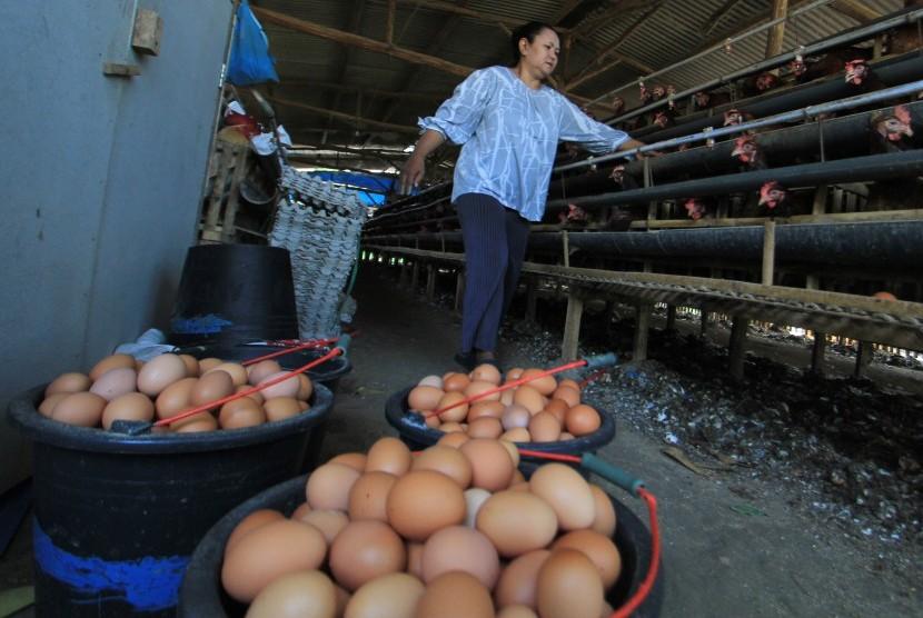 Peternak mengambil telur ayam di desa Balongan, Indramayu, Jawa Barat, Kamis (1/11/2018).