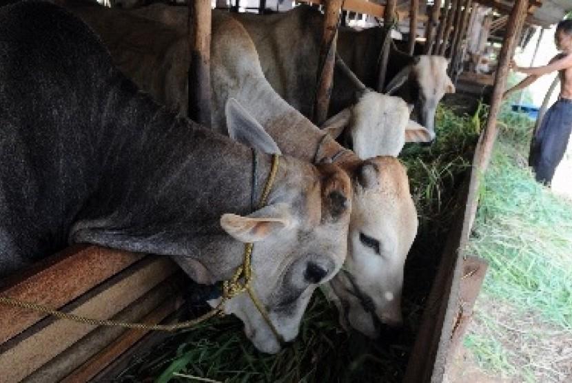 Peternakan sapi (ilustrasi)