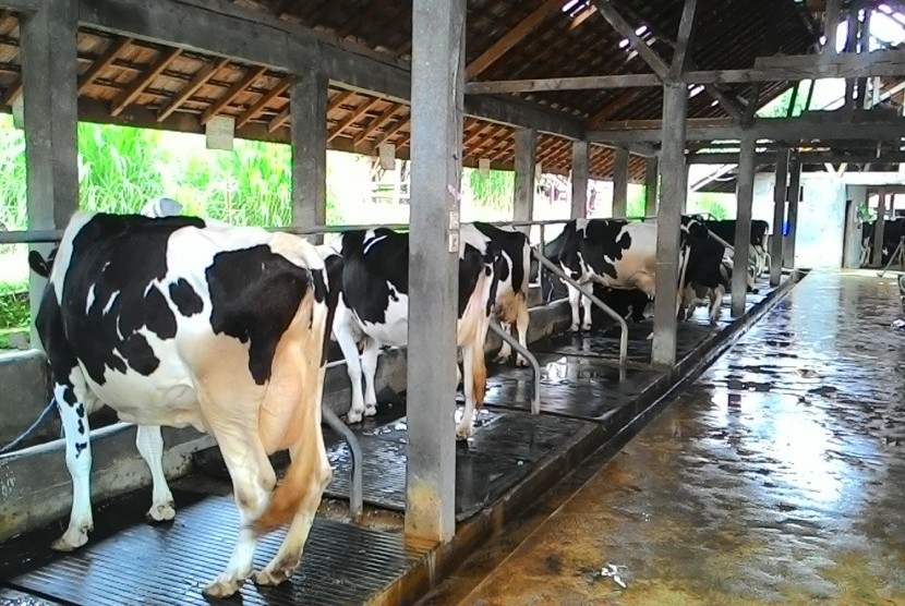 Peternakan sapi perah (ilustrasi)