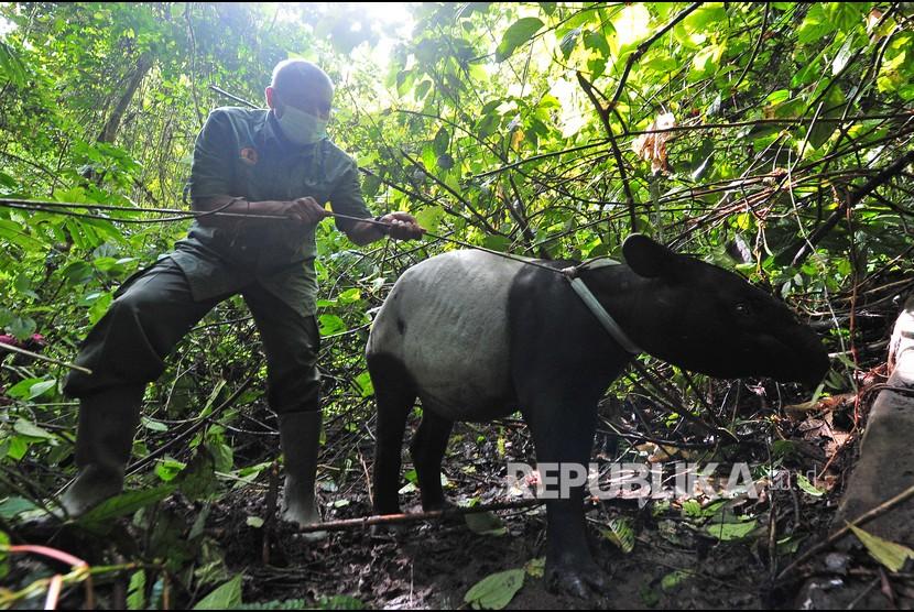 Petugas BKSDA Jambi menuntun seekor seekor tapir (Tapirus indicus) yang akan dilepasliarkan di Taman Nasional Kerinci Seblat (TNKS), Sungai Penuh, Jambi, Selasa (22/6/2021). BKSDA Jambi melepasliarkan seekor tapir dewasa dan tiga ekor siamang (Symphalangus syndactylus) yang sebelumnya mendapatkan perawatan dan pelatihan di Tempat Penyelamatan Satwa (TPS) BKSDA setempat selama 3-7 bulan.