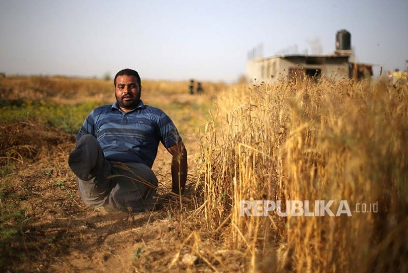 Peyandang difable Louy Al-Najar harus 'ngesot' di saat memanen gandum di  Khan Younis Jalur Gaza selatan Ibraheem
