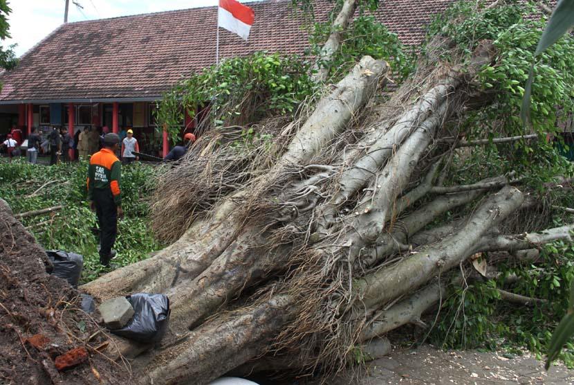 Pohon beringin tumbang (ilustrasi)