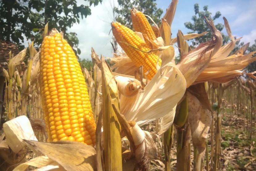 Produksi jagung meningkat bahkan untuk 2019, pemerintah siap melakukan ekspor.