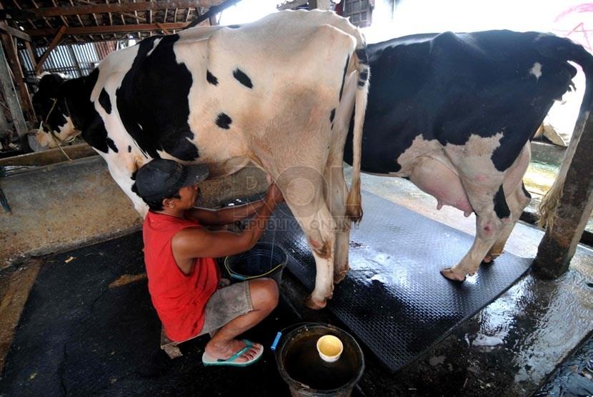 Produksi Susu Nasional. Peternak memerah susu sapi pada salah satu peternakan kelompok tani di Jakarta, Selasa (25/3).