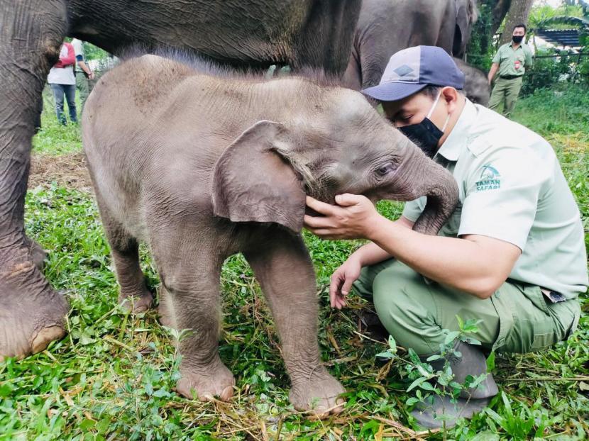 Pulisia, gajah yang baru lahir di Taman Safari Indonesia