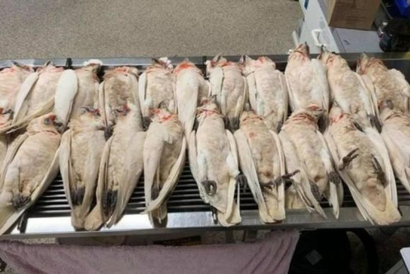 Puluhan burung corella di Australia mati mendadak.