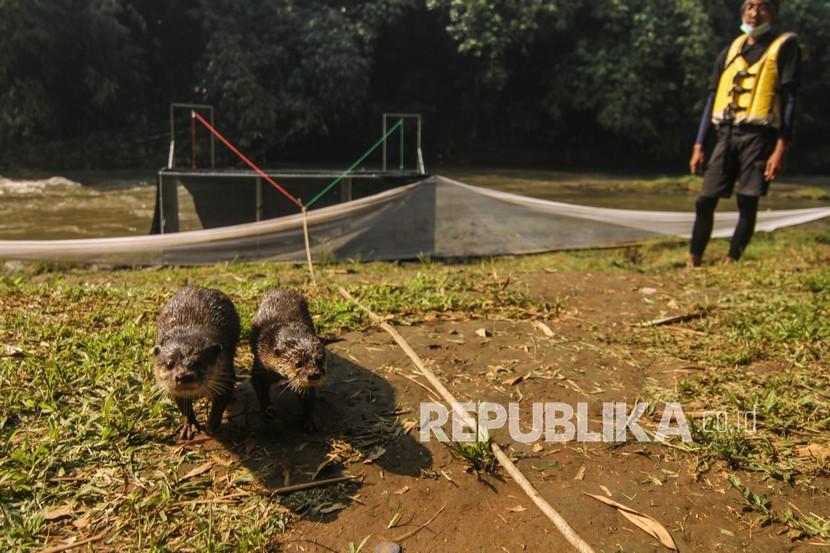 Relawan Komunitas Ciliwung Depok (KCD) melepasliarkan berang-berang di Sungai Ciliwung, GDC, Depok, Jawa Barat, Sabtu (5/6/2021). Pelepasliaran berang-berang sebanyak tiga ekor tersebut dalam rangka upaya menjadikan Sungai Ciliwung Depok sebagai taman edukasi dan konservasi.