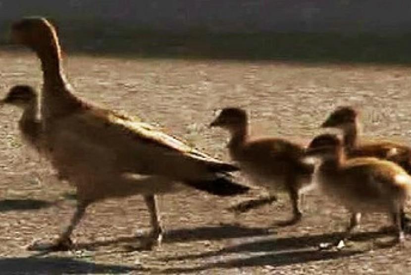 66+ Gambar Hewan Peliharaan Bebek HD Terbaik