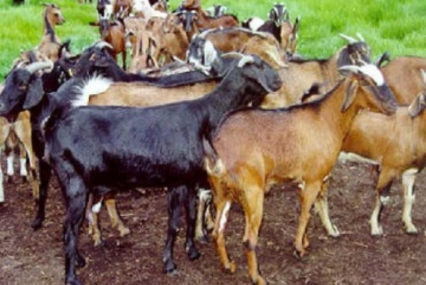 Rombongan kambing, ilustrasi