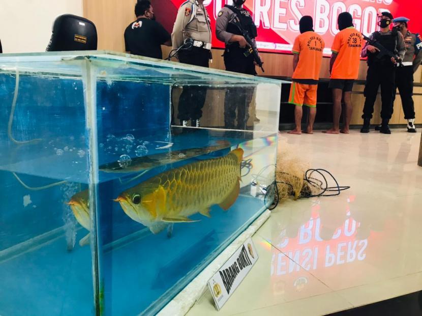 Salah satu dari 400 ekor ikan arwana super red yang dicuri di Sukahati, Cibinong, Kabupaten Bogor