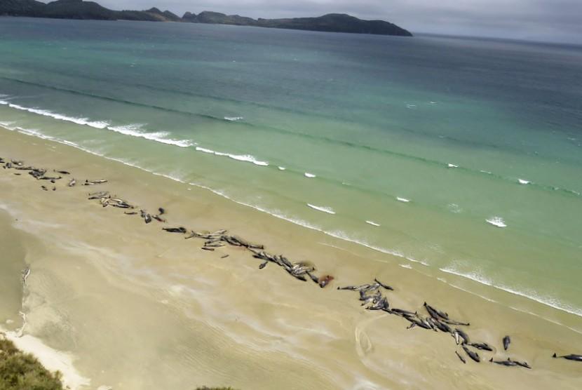 Sebanyak 145 paus pilot terdampar di Mason Bay, Pulau Stewart, Seladia Baru.