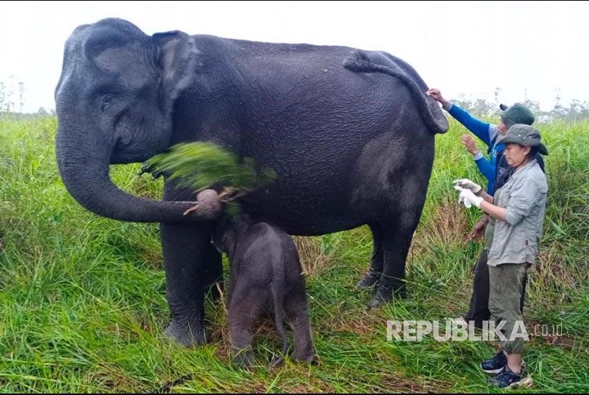 Seekor anak gajah jantan lahir dari induk bernama Sabana di Pusat Latihan Gajah (PLG) Jalur 21 Suaka Margasatwa Padang Sugihan, Balai Konservasi Sumber Daya Alam (BKSDA) Sumatera Selatan, pada hari Jumat (18/6).