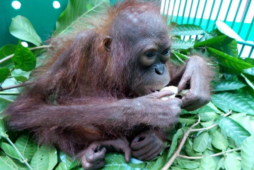 Seekor anak orangutan dirawat di kantor Balai Konservasi Sumber Daya Alam Daerah Kalimantan Tengah di Sampit, Kabupaten Kotawaringin Timur, Rabu (30/3).