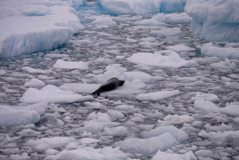 Seekor anjing laut bersandar santai di atas es di Antartika.