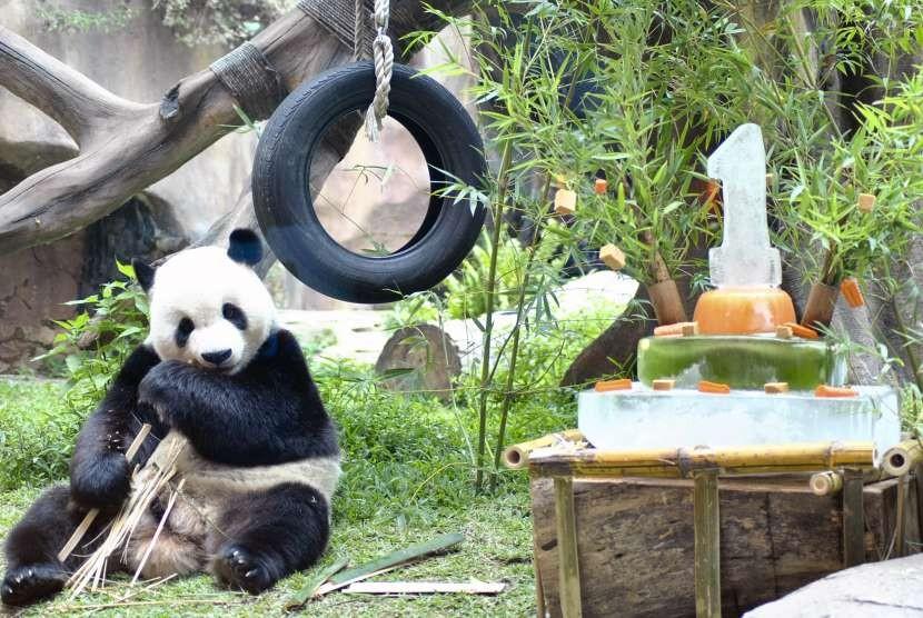 Seekor Giant Panda jantan bernama Cai Tao memakan bambu saat perayaan satu tahun kedatangannya di Istana Panda, Taman Safari Indonesia, Cisarua, Kabupaten Bogor, Jawa Barat, Sabtu (29/9).