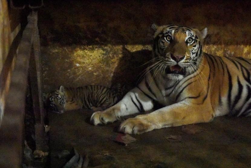 Benggal tiger (Panthera tigris tigris) at Semarang Zoo, Central Java.