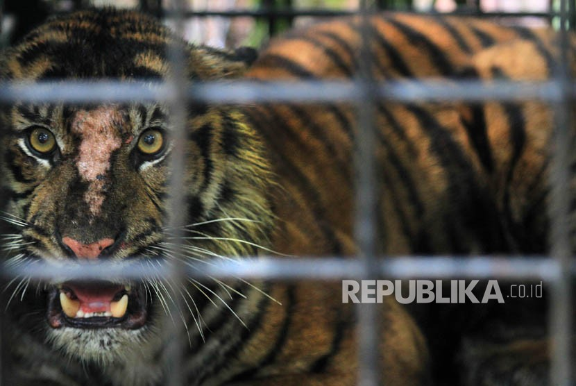 Seekor Harimau Sumatera (Panthera tigris).