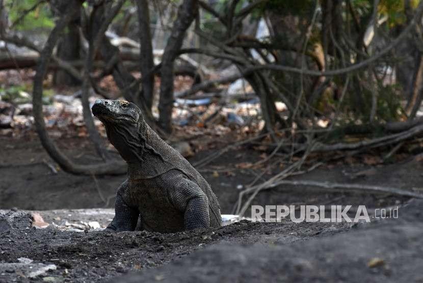 Seekor komodo berada di Pulau Rinca, Kawasan Taman Nasional Komodo, Nusa Tenggara Timur, Ahad (14/10).