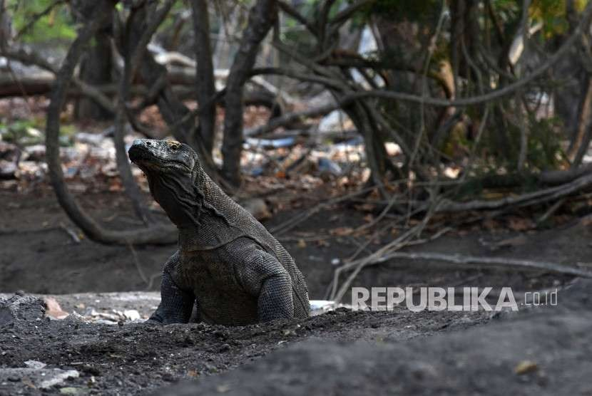 A komodo lizard at Rinca Island in the Komodo National Park (TNK), East Nusa Tenggara.