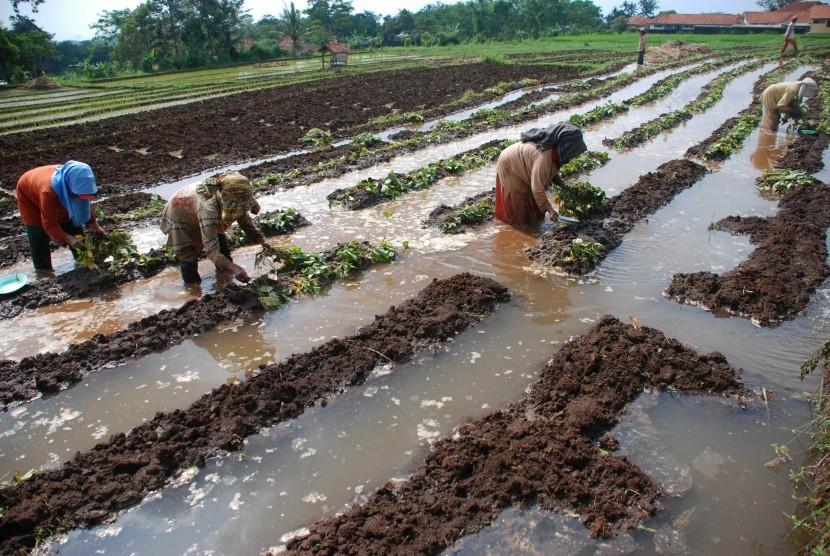 Sejumlah buruh tani menanam bibit ubi jalar di Desa Pakembangan, Mandirancan, Kuningan, Jawa Barat, Selasa (17/5).