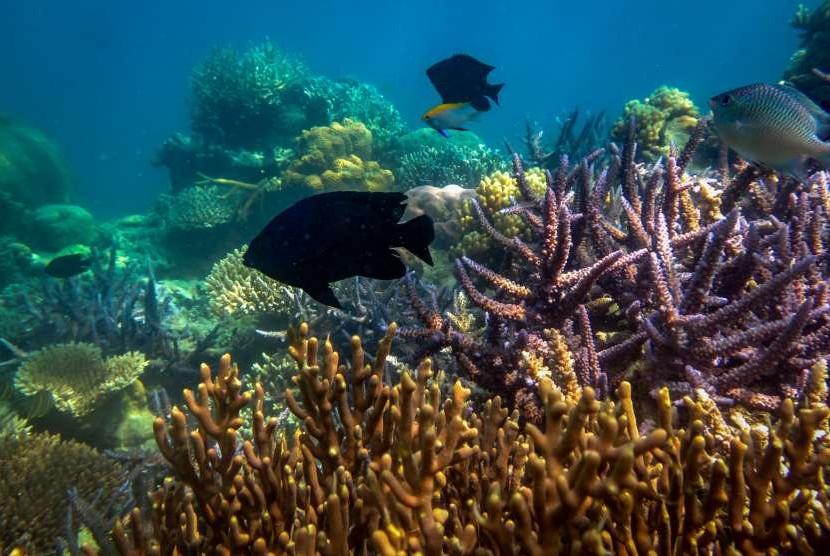 [Ilustrasi] Sejumlah ikan berada di sekitar terumbu karang di wilayah peraian konservasi Taman Nasional Karimunjawa (TNKJ), Jepara, Jawa Tengah.