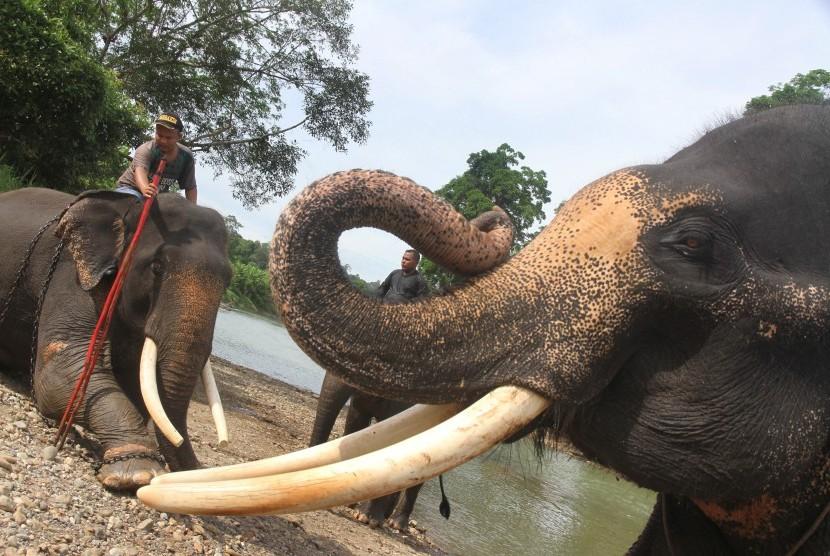Sejumlah mahout (pawang) memandikan dan melatih Gajah Sumatera (Elephas Maximus Sumatresnsis) yang terlatih di Camp Corsevation Respon Unit (CRU) Serba Jadi, Aceh Timur, Aceh, Jumat (12/8).