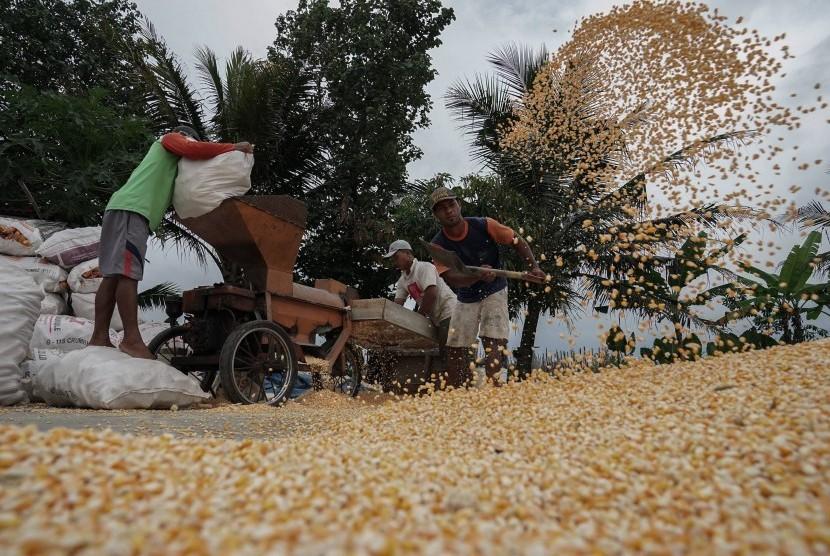 Sejumlah pekerja merontokan biji jagung menggunakan mesin perontok di Desa Kajongan, Bojongsari, Purbalingga, Jateng, Rabu (24/10). Pemerintah menyetujui impor 100 ton jagung untuk dijual dengan harga Rp 4.500 per kilogram.