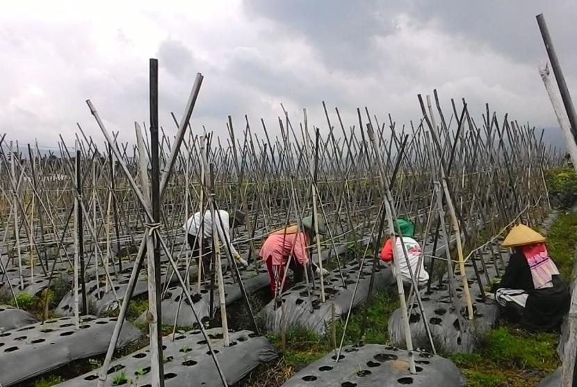Sejumlah petani di Kampung Cicalung, Desa Wangunharja, Kecamatan Lembang, Kabupaten Bandung Barat, sedang mencabut rumput-rumput liar yang tumbuh di ladang sayuran mereka, Ahad (29/11). Pembersihan ladang ini sebagai persiapan untuk penanaman berikutnya se