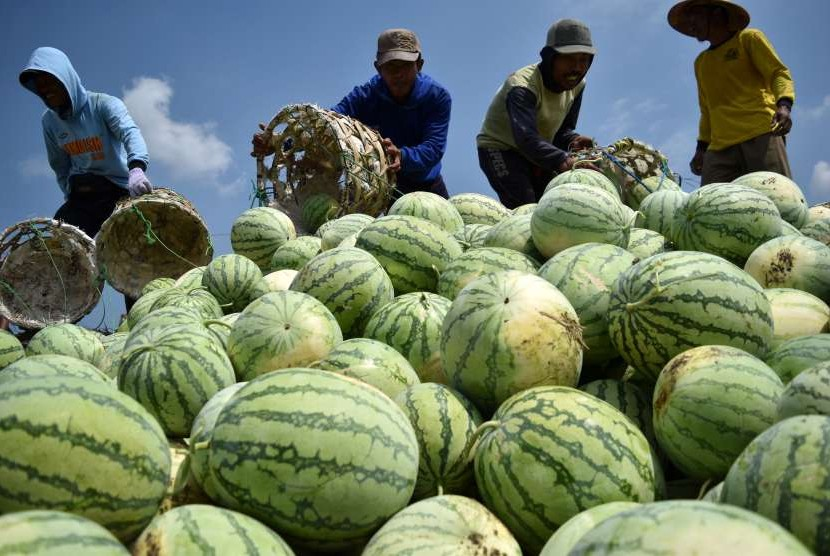 Sejumlah petani memanen buah semangka.