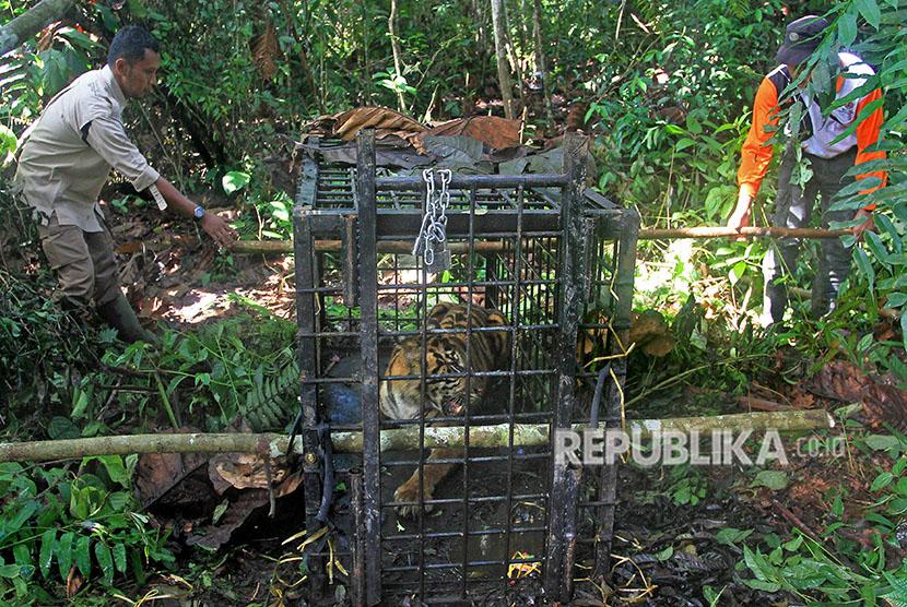 Sejumlah petugas Balai Konservasi Sumber Daya Alam (BKSDA) Sumatera Barat mengevakuasi Harimau Sumatera (Panthera tigris), di kawasan hutan Palupuh, Kabupaten Agam, Sumatera Barat, Selasa (17/4).