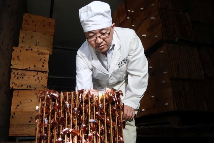 Seorang karyawan menunjukkan kecoa di sebuah peternakan yang dikelola perusahaan farmasi Gooddoctor di Sichuan, Cina.