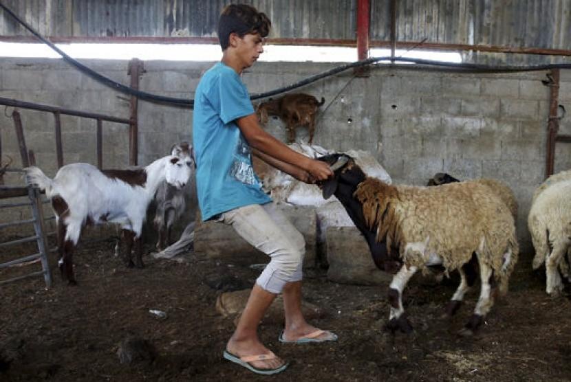 Seorang pemuda Palestina tengah menggiring kambing ke kandangnya guna dicek kesehatannya. Kambing-kambing ini dijual guna memenuhi kebutuhan umat Islam yang hendak berkurban di Kamp Pengungsian Bureij, Jalur Gaza, Palestina.